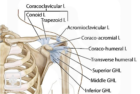 shoulder ligaments « « Injured Shoulder