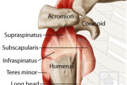 shoulder tendons